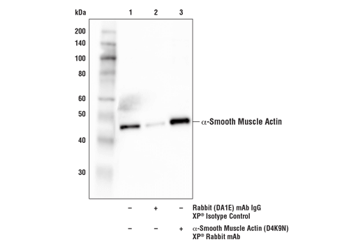 Immunoprecipitation of α-smooth muscle actin from mouse colon tissue extracts. Lane 1 is 10% input, lane 2 is Rabbit (DA1E) mAb IgG XP<sup>®</sup> Isotype Control #3900, and lane 3 is α-Smooth Muscle Actin (D4K9N) XP<sup>®</sup> Rabbit mAb. Western blot analysis was performed using α-Smooth Muscle Actin (D4K9N) XP<sup>®</sup> Rabbit mAb.