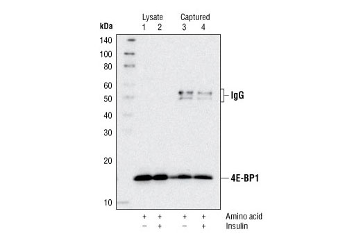 Figure 3. Kit specificity as demonstrated by Western analysis of the ELISA microwell captured protein. Lysates were prepared from HEK-293T cells and incubated in microwells coated with the 4E-BP1 capture antibody. Wells were washed, and the captured protein was solubilized in SDS gel loading buffer. Western analysis of HEK-293T cell starting lysates (lanes 1 & 2) and the captured protein (lanes 3 & 4) was performed using 4E-BP1 Antibody #9452. The major band detected in the captured material (lanes 3 & 4) corresponds to 4E-BP1.