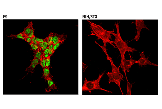 Confocal immunofluorescent analysis of F9 cells (left, positive) and NIH/3T3 cells (right, negative) using TET2 (D6C7K) Rabbit mAb (Mouse Specific) (green). Actin filaments were labeled with DyLight™ 554 Phalloidin #13054 (red).