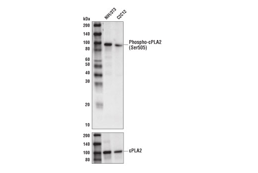 Western blot analysis of extracts from NIH/3T3 and C2C12 cells using Phospho-cPLA2 (Ser505) (D4I2A) Rabbit mAb (upper) or cPLA2 (D11H4) Rabbit mAb #5479 (lower).