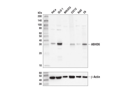 Monoclonal Antibody Immunoprecipitation Acylglycerol Catabolic Process - count 2