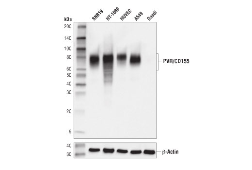 Western blot analysis of extracts from various cell lines using PVR/CD155 (D8A5G) Rabbit mAb (upper) and β-actin (D6A8) Rabbit mAb #8457 (lower).