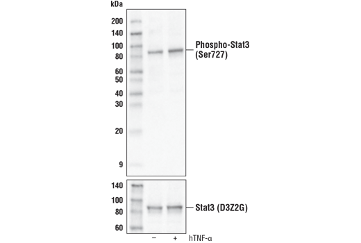 Western blot analysis of extracts from HeLa cells, untreated (-) or treated with Human Tumor Necrosis Factor-α #8902 (20ng/ml, 30 min; +), using Phospho-Stat3 (Ser727) (D8C2Z) Rabbit mAb (Biotinylated) (upper) or Stat3 (D3Z2G) Rabbit mAb #12640 (lower).