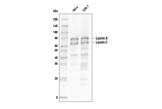 Western blot analysis of extracts from HeLA and COS-7 cells using Lamin A/C (4C11) Mouse mAb (Biotinylated).