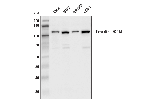 Western blot analysis of extracts from various cell lines using Exportin-1/CRM (D6V7N) Rabbit mAb.