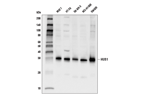 Western blot analysis of extracts from various cell lines using HUS1 (D4J9H) Rabbit mAb.
