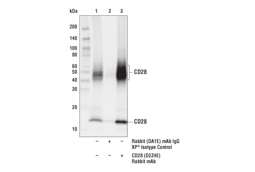 Immunoprecipitation of CD28 from Jurkat cell extracts. Lane 1 is 10% input, lane 2 is Rabbit (DA1E) IgG XP<sup>®</sup> Isotype Control #3900, and lane 3 is CD28 (D2Z4E) Rabbit mAb.