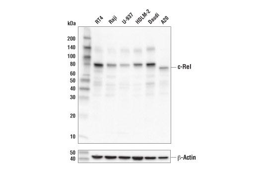 Monoclonal Antibody - c-Rel (D3B8S) Rabbit mAb, UniProt ID Q04864, Entrez ID 5966 #67489 - Immunology and Inflammation