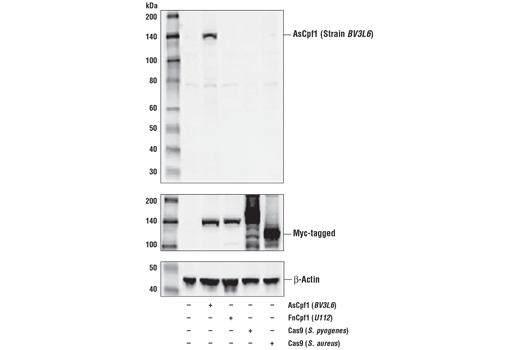 Polyclonal Antibody - AsCpf1 (Strain BV3L6) Antibody - Western Blotting - 100 µl #38150, Cpf1