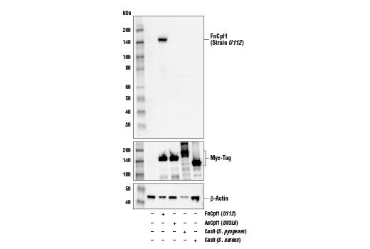 Polyclonal Antibody - FnCpf1 (Strain U112) Antibody - Western Blotting - 100 µl #59201 - Primary Antibodies