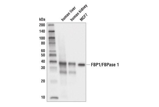 Monoclonal Antibody Western Blotting Regulation of Gluconeogenesis - count 20