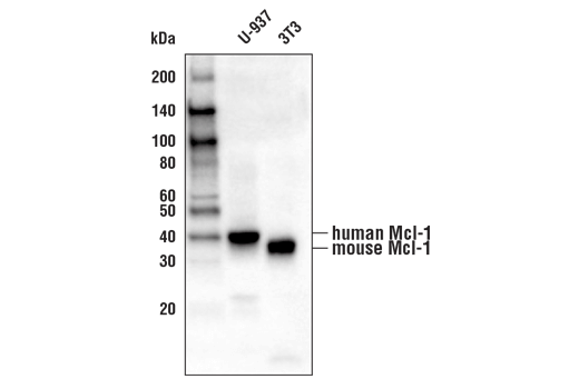 Western Blotting Image 1: Mcl-1 (D2W9E) Rabbit mAb (Biotinylated)