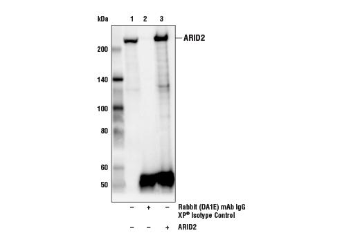 Monoclonal Antibody - ARID2 (D8D8U) Rabbit mAb - Immunoprecipitation, Western Blotting, UniProt ID Q68CP9, Entrez ID 196528 #82342
