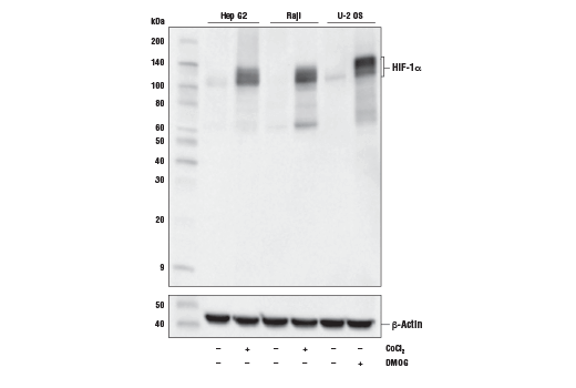 Western blot analysis of extracts from Hep G2 cells untreated (-) or treated with cobalt chloride (100 µM, 4 h; +), Raji cells untreated (-) or treated with cobalt chloride (100 µM, 4 h; +) and U-2 OS cells untreated (-) or treated with DMOG (1 mM, 6 h; +) using HIF-1α (D1S7W) XP<sup>®</sup> Rabbit mAb (upper) or β-Actin (D6A8) Rabbit mAb #8457 (lower).
