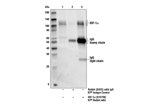 Immunoprecipitation of HIF-1α from lysate of Hep G2 cells treated with cobalt chloride (100 µM, 4 h). Lane 1 is 10% input, lane 2 is Rabbit (DA1E) mAb IgG XP<sup>®</sup> Isotype Control #3900, and lane 3 is HIF-1α (D1S7W) XP<sup>®</sup> Rabbit mAb. Western blot analysis was performed using HIF-1α (D1S7W) XP<sup>®</sup> Rabbit mAb. Anti-rabbit IgG, HRP-linked Antibody #7074 was used as the secondary antibody.