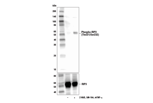 Western blot analysis of L-929 cells, untreated (-), or treated with combinations of the following treatments as indicated: Z-VAD (20 μM, added 30 min prior to other compounds; +), mouse TNF-α (20 ng/ml, 4 hr; +), and SM-164 (100 nM, 4 hr; +), using Phospho-RIP3 (Thr231/Ser232) Antibody (Mouse Specific) (upper) or RIP3 (D8J3L) Rabbit mAb #15828 (lower).
