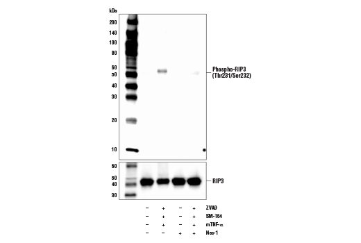 Polyclonal Antibody - Phospho-RIP3 (Thr231/Ser232) Antibody (Mouse Specific), UniProt ID Q9QZL0, Entrez ID 56532 #57220