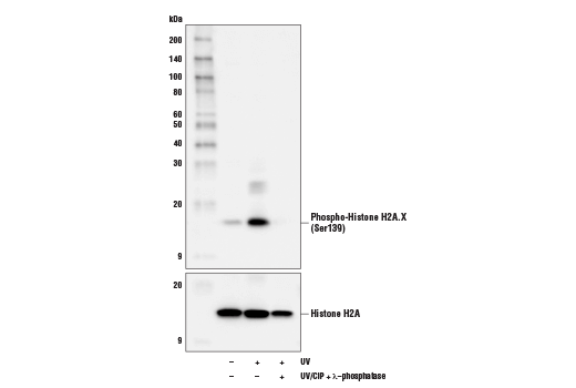 Western blot analysis of extracts from HeLa cells, untreated (-), UV-treated (+), or UV-treated and subsequently treated with calf intestinal phosphatase (CIP) plus λ-phosphatase (+), using Phospho-Histone H2A.X (Ser139) (D7T2V) Mouse mAb (upper) or Histone H2A (D6O3A) Rabbit mAb (lower).