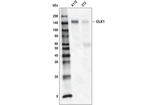 Western blot analysis of cell extracts from A172 and 3T3 using ULK1 (D8H5) Rabbit mAb (Biotinylated).