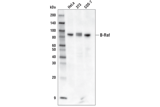 Western Blotting Image 1: B-Raf (D9T6S) Rabbit mAb (Biotinylated)