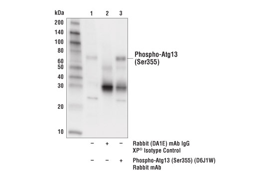 Immunoprecipitation of Phospho-Atg13 (Ser355) from extracts of PANC-1 cells starved with Hank's Balanced Salt Solution (HBSS) (2 hr). Lane 1 is 10% input, lane 2 is Rabbit (DA1E) mAb IgG XP<sup>®</sup> Isotype Control #3900, and lane 3 is Phospho-Atg13 (Ser355) (D6J1W) Rabbit mAb. Western blot was performed using Phospho-Atg13 (Ser355) (D6J1W) Rabbit mAb.