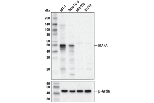 Western blot analysis of extracts from various cell lines using MAFA (D2Z6N) Rabbit mAb (upper) and β-Actin (D6A8) Rabbit mAb #8457 (lower). MAFA protein expression is detected exclusively in pancreatic beta cell lines (NIT-1 and Beta-TC-6), confirming target specificity of the antibody.