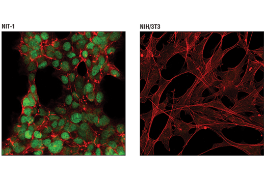 Confocal immunofluorescent analysis of NIT-1 cells (left, positive) and NIH/3T3 cells (right, negative) using MAFA (D2Z6N) Rabbit mAb (green). Actin filaments were labeled with DyLight™ 554 Phalloidin #13054 (red).