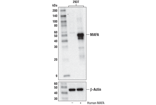 Western blot analysis of extracts from 293T cells, mock-transfected (-) or transfected with Human MAFA (+), using MAFA (D2Z6N) Rabbit mAb (upper) or β-Actin (D6A8) Rabbit mAb #8457 (lower).
