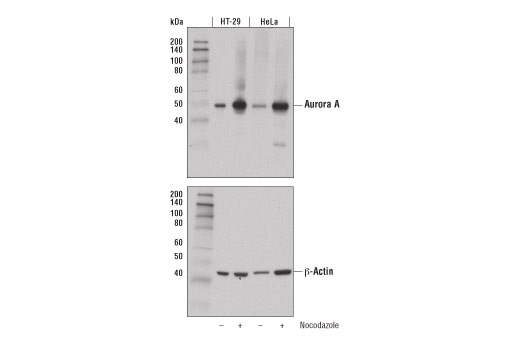 Western blot analysis of extracts from HT-29 and HeLa cells, untreated (-) or treated with nocodazole (100 ng/mL, 16 hr; +), using Aurora A (D3V7T) XP<sup>®</sup> Rabbit mAb (upper) or β-Actin (D6A8) Rabbit mAb #8457 (lower).