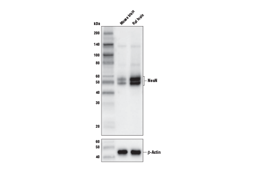 Monoclonal Antibody - NeuN (D4G4O) XP® Rabbit mAb (Biotinylated), UniProt ID A6NFN3, Entrez ID 146713 #51802, Neuroscience