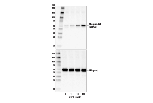 Western blot analysis of extracts from NIH/3T3 cells untreated or treated with hIGF-II for 10 minutes, using Phospho-Akt (Ser473) (D9E) XP® Rabbit mAb #4060 (upper) and Akt (pan) (C67E7) Rabbit mAb #4691 (lower).
