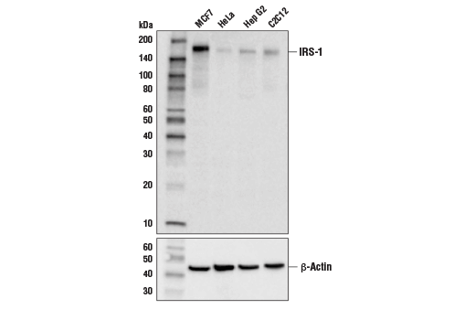 Western blot analysis of extracts from various cell lines using IRS-1 (D5T8J) Rabbit mAb (upper) or β-Actin (D6A8) Rabbit mAb #8457 (lower).