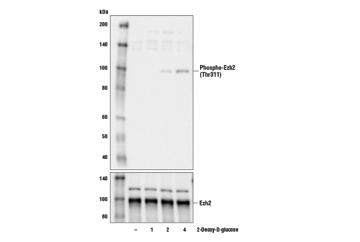 Polyclonal Antibody Negative Regulation of Epidermal Cell Differentiation - count 20
