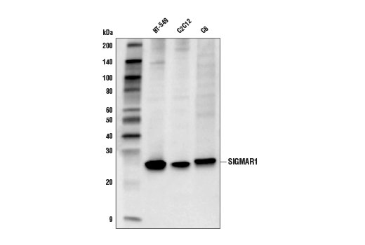 Western blot analysis of extracts from BT-549, C2C12, and C6 cells using SIGMAR1 (D4J2E) Rabbit mAb.