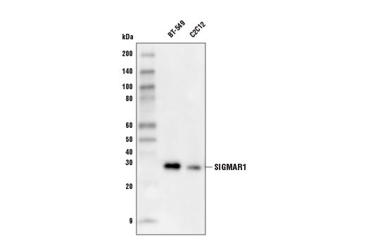 Western blot analysis of extracts from BT-549 and C2C12 cells using SIGMAR1 (D7L1M) Rabbit mAb.