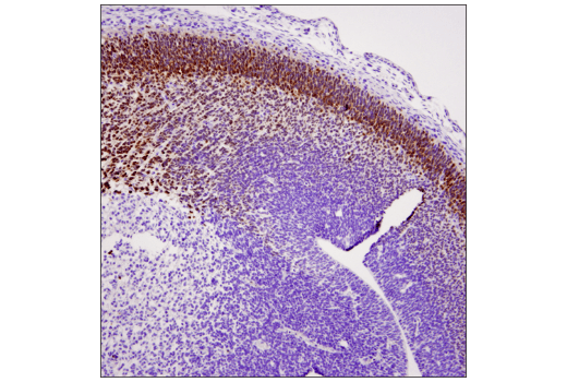 Immunohistochemical analysis of paraffin-embedded E13 mouse embryo using TBR1 (D6C6X) Rabbit mAb.