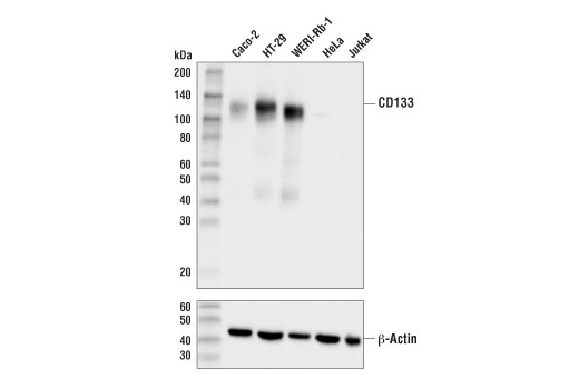 Western blot analysis of extracts from various cell lines using CD133 (D2V8Q) XP<sup>®</sup> Rabbit mAb (upper) and β-Actin (D6A8) Rabbit mAb #8457 (lower).