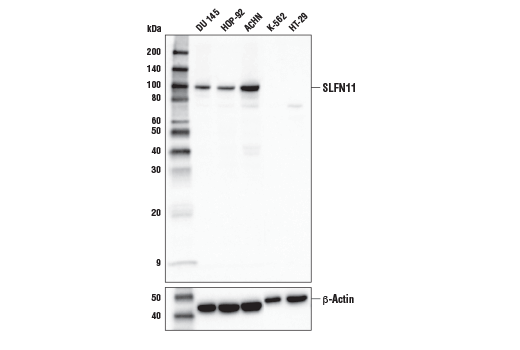 Western blot analysis of various cell lines using SLFN11 (D8W1B) Rabbit mAb (upper) or β-Actin (D6A8) Rabbit mAb #8457 (lower).