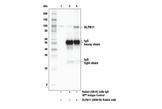 Immunoprecipitation of SLFN11 from DU 145 cell extracts. Lane 1 is 10% input, lane 2 is Rabbit (DA1E) mAb IgG XP<sup>®</sup> Isotype Control #3900, and lane 3 is SLFN11 (D8W1B) Rabbit mAb.
