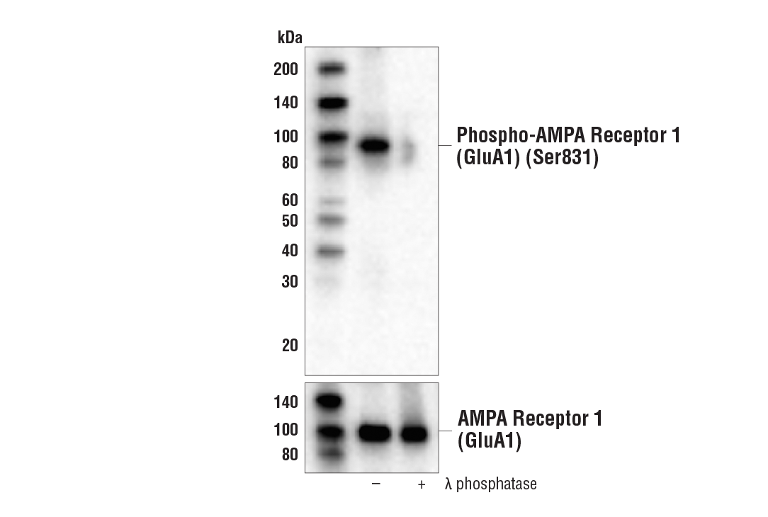 Western blot analysis of extracts from mouse brain, untreated (-) or λ-phosphatase-treated (+), using Phospho-AMPA Receptor 1 (GluA1) (Ser831) (A5O2P) Rabbit mAb (upper) and AMPA Receptor 1 (GluA1) (D4N9V) Rabbit mAb #13185 (lower).