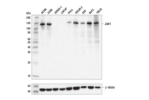 Western blot analysis of extracts from various cell lines using Jak1 (D1T6W) Mouse mAb (upper) or β-Actin (D6A8) Rabbit mAb #8457 (lower).