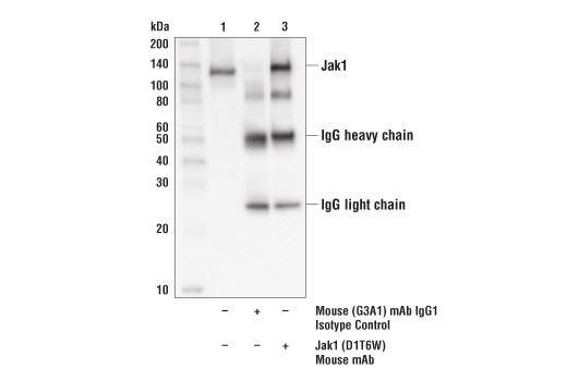 Immunoprecipitation of Jak1 from HeLa cell extracts. Lane 1 is 10% input, lane 2 is immunoprecipitated with Mouse (G3A1) mAb IgG1 Isotype Control #5415, and lane 3 is Jak1 (D1T6W) Mouse mAb. Western blot was performed using Jak1 (D1T6W) Mouse mAb.