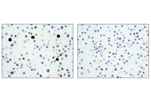 Immunohistochemical analysis of paraffin-embedded BaF3 cell pellet (left, positive) or Raw 264.7 cell pellet (right, negative) using S100A9 (D3U8M) Rabbit mAb (Rodent Specific).