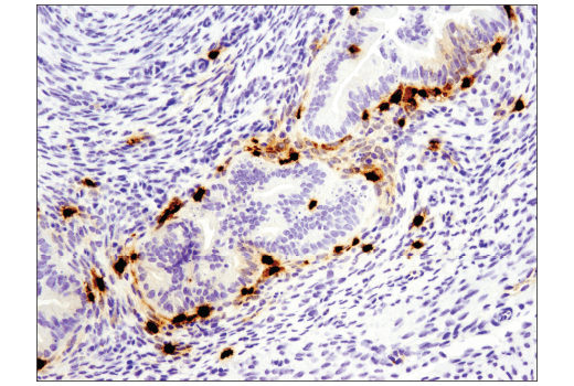 Immunohistochemistry Image 1: S100A9 (D3U8M) Rabbit mAb (Rodent Specific)