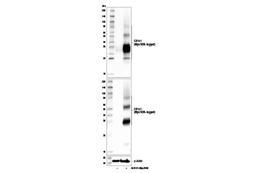 Polyclonal Antibody - CD151 Antibody - Western Blotting, UniProt ID P48509, Entrez ID 977 #17327