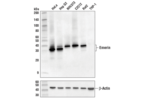 Western blot analysis of extracts from various cell lines using Emerin (D3B9G) XP<sup>®</sup> Rabbit mAb (upper) and β-Actin (D6A8) Rabbit mAb #8457 (lower).