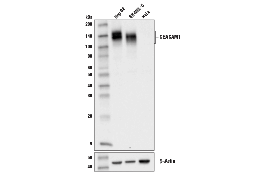 Western blot analysis of extracts from Hep G2, SK-MEL-5, and HeLa cell lines using CEACAM1 (D3R8O) Rabbit mAb (upper) and β-actin (D6A8) Rabbit mAb #8457 (lower).