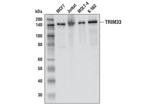 Western blot analysis of extracts from various cell lines using TRIM33 (D7U4F) Rabbit mAb.