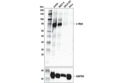 Western blot analysis of extracts from various cell lines using c-Myb (D1B9E) Rabbit mAb (upper) and GAPDH, #5145 (lower). As expected, COLO 201 and HeLa cells are low or negative for c-Myb expression.