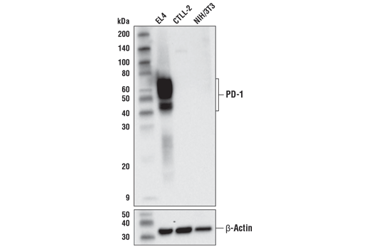 Western blot analysis of extracts from EL4, CTLL-2, and NIH/3T3 using PD-1 (D7D5W) XP<sup>®</sup> Rabbit mAb (Mouse Specific) (upper) and β-actin (D6A8) Rabbit mAb #8457 (lower).
